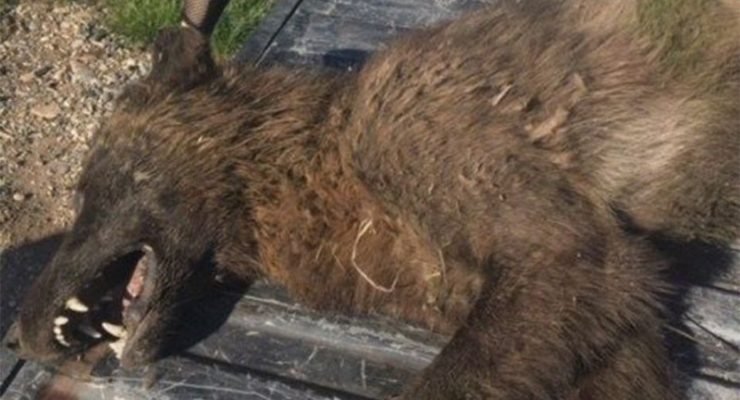 Officials are puzzled by wolf-like creature that was shot in Montana