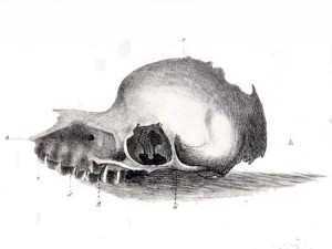 Bunyip skull